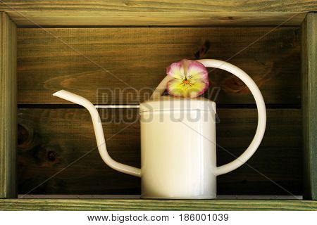 Beautiful pansy in a  watering can in a box, post processing to add rustic feel.