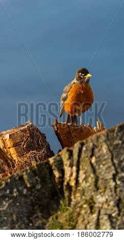 Vertical image of an American Robin, (Turdus migratorius) standing on a stump by a lake
