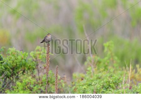 Female Red-winged Blackbird perched on dried-out plant