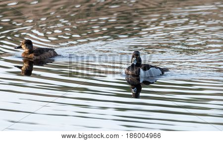 Ring-necked ducks.   Mating pairs compete for the best genes during their breif stay on a lake in northeastern Canada.