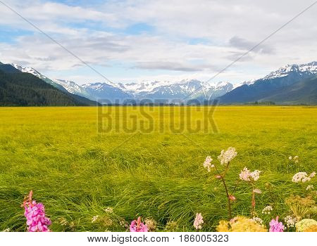 Lush green and yellow vegetation with white and pink wildflowers in foreground of wetland surrounded by distant snow covered mountains Alaska.