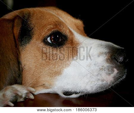 Beautiful beagle with her head and one paw up on a table watching something.  Side profile view.
