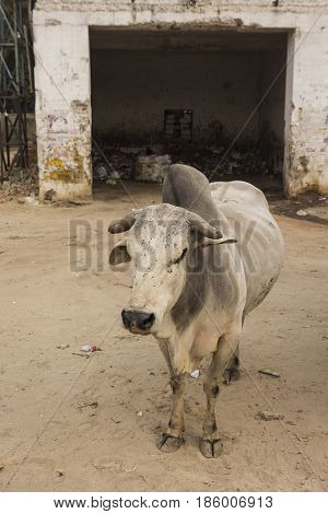 dirty stray cow in dump site place in delhi India.