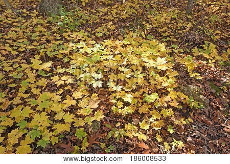 Yellow Maple Seedlings in the Fall in Blue Mound State Park in Wisconsin