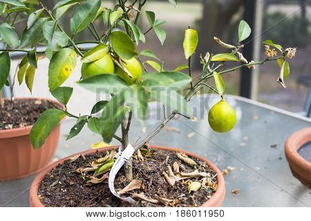 Small lemon tree plant ready to pick the yellowing fruit