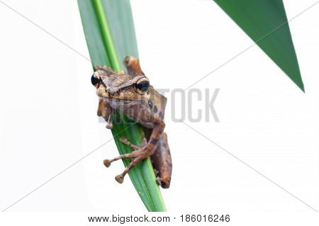 Frog on White Background - macro shot the cute tree frog