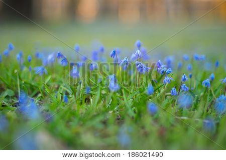 Siberian squill flowers shallow depth of field. Delicate springtime background