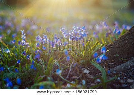 Scilla siberica or wood squill flowers against sunlight with natural sunflares selective focus