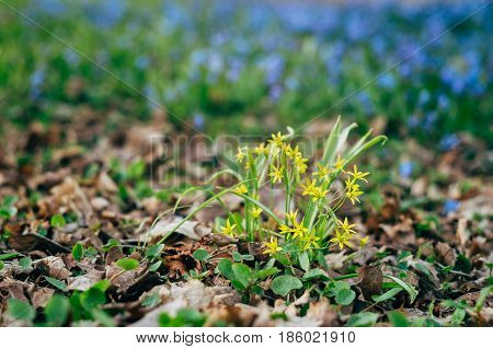 Gagea lutea or yellow Star-of-Bethlehem flowers springtime background