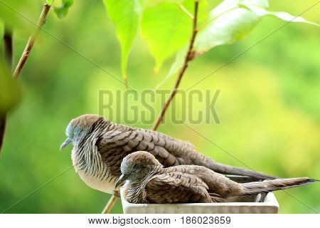 Mother Wild Zebra Dove and Her Child Napping Side by Side on a Planter at Balcony Garden