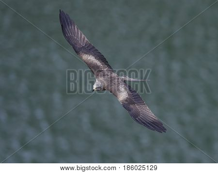Black kite in flight with water in the background