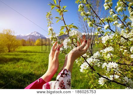 Woman Hand And Blossom Tree At Spring