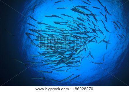 Chevron Barracuda fish