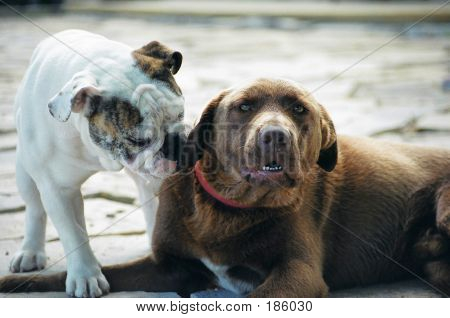 00560019 Bull Dog And Lab