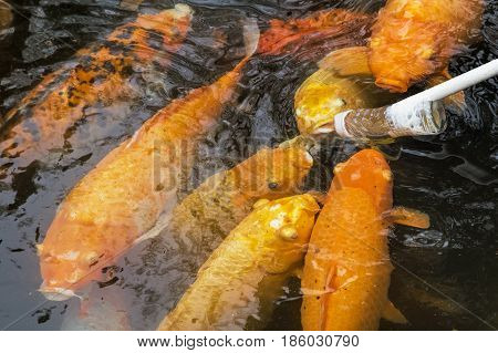 Feeding Koi goldfish using a baby bottle is a very popular form of entertainment in Chengdu China