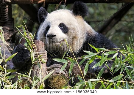 Adult Giant Panda eating bamboo at the Chengdu Research Base of Giant Panda Breeding Chengdu China