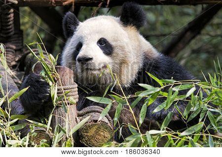 Adult Giant Panda eating bamboo at the Chengdu Research Base of Giant Panda Breeding Chengdu China
