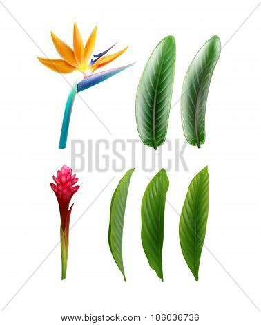 Vector set of tropical plants Bird of Paradise flower or Strelitzia Reginae and Alpinia Purpurata with leaves isolated on white background