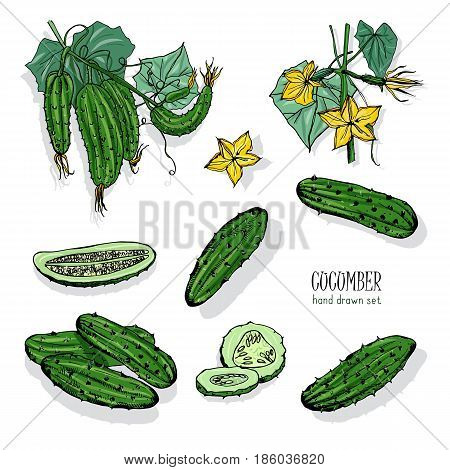 Set of different cucumber, on branch, flowering. Cuke slices, cut along, top view, from side. Colorful vector hand drawn illustration
