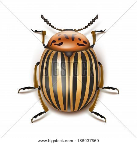 Vector colorado potato beetle close up top view isolated on white background