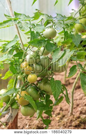 Green Tomatoes On A Branch In A Kitchen Garden