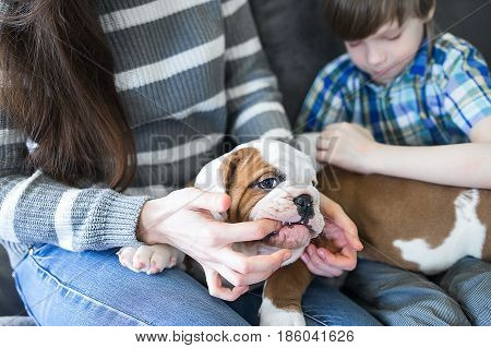 The English bulldog puppy nibbles finger Housewives on hand.