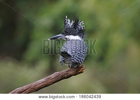 Crested Kingfisher Megaceryle Lugubris Birds Of Thailand