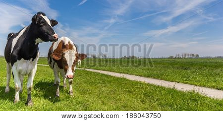 Panorama Of Two Holstein Cows