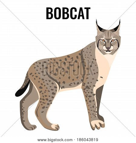 Full length spotted bobcat vector illustration isolated. Wildlife animal cat specie with coat in grey and white colors with sharp ears