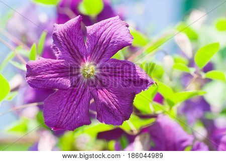 Color spectacle of summer garden with clematis as a title role.
