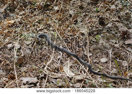 harmless snakes in the woods, closeup forest snake, These snakes lat. Natrix is a genus of nonpoisonous snakes of the family colubrid.