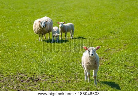 Proud mother with a thick winter coat presents her three innocent looking newborn lambs standing on fresh green grass on a sunny day at the beginning of spring season.