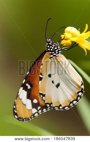 Female Plain tiger butterfly (Danaus chrysippus form alcippoides) on yellow flower