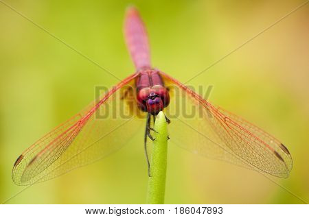 Close up of male Crimson Dropwing dragonfly resting with wings open