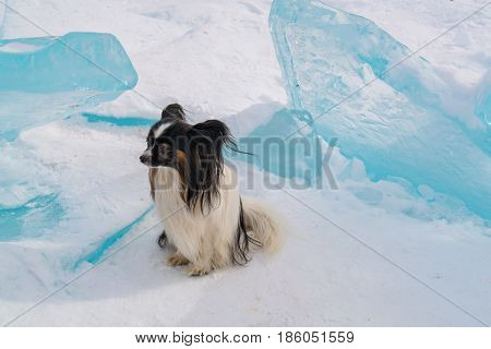 Small dog sit on ice block covered with snow in Lake Baikal in winter