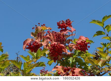 Viburnum Drupes Among Red-green Leaves On Blue Sky Background.