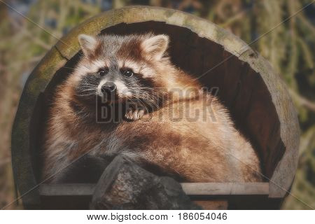 A little racoon looks out of his house