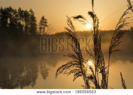 Bulrush silhouette against golden sunrise background. Water surface (background) is calm and covered with fog.
