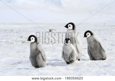 Emperor Penguins at Snow Hill Antarctica 2010 .