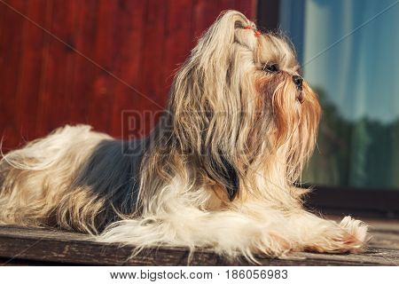 Shih tzu dog sitting at front of house