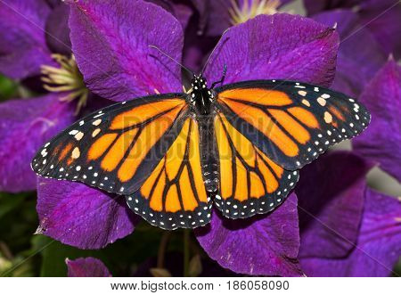 Dorsal view of a female Monarch butterfly on a deep purple Clematis flower