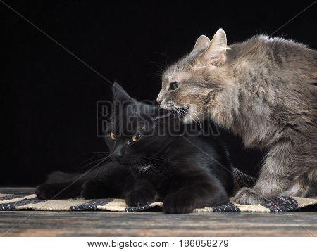 Big cat bites a small kitten. The dark background