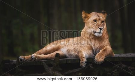 Lying lioness on a bridge of wood