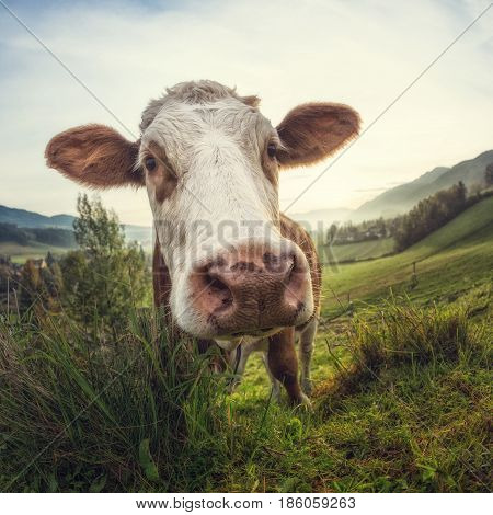 Curious cow looking at the camera fish-eye optic