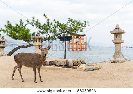 Deer and big torii gate at miyajima