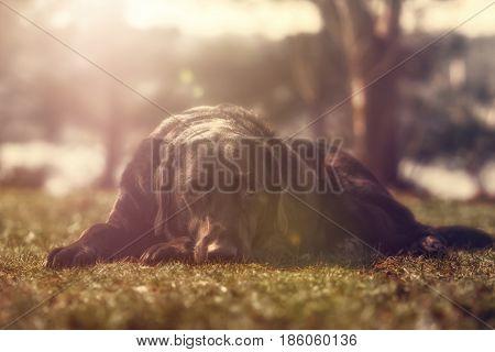 Black labrador retriever lying on the gras looking into the camera