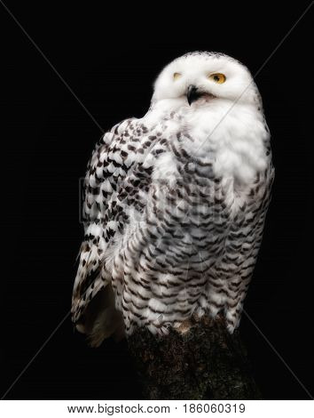 A beautiful snow owl against black background