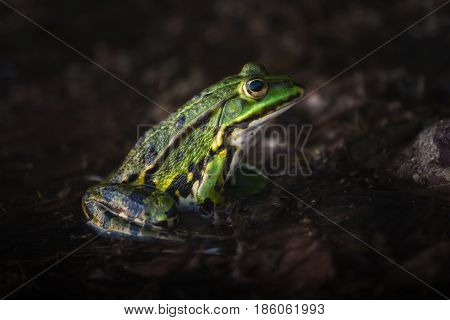 A green frog sitting in den moor and waiting