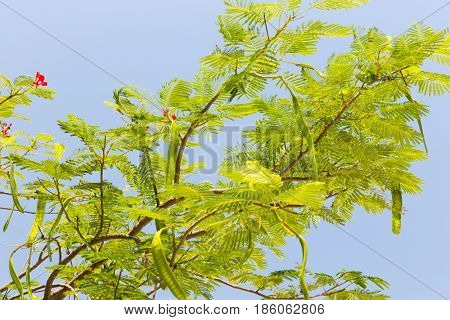 gardening, nature, botany and flora concept - delonix regia or flame tree outdoors poster
