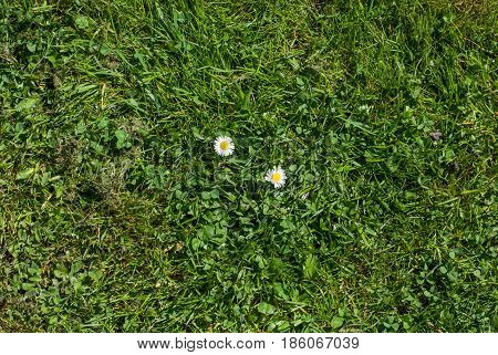 Daisy On Grass - Lawn Top View